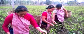 Sustainable Livelihoods for Small Tea Growers